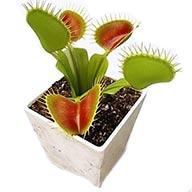 دو عدد بذر گیاه حشره خوار ونوس